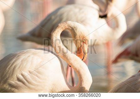 Greater Flamingos (phoenicopterus Roseus), Close Up Portrait, Camargue, France, Pink Birds, Wildlife