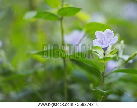 Purple Flower Blooming In Garden On Blurred Of Nature Background, Name Ruellia Tuberosa Minnieroot,