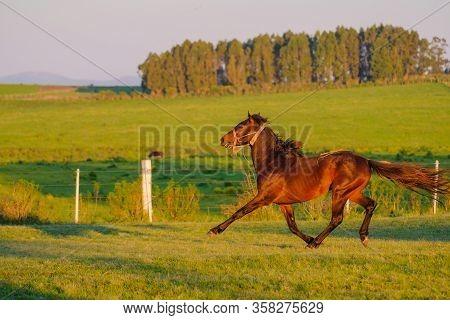 Beautiful Wild Untamed Horse At A Criolla Festival In Caminos, Canelones, Uruguay, South America, Al
