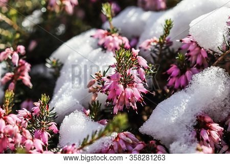 Blooming Pink Erica Carnea Flowers (winter Heath) And Snow In The Garden In Early Spring. Floral Bac