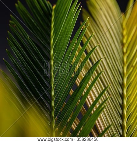 Cicada Leaves On A Dark Background. Cycad Or Cycad Leaves. The Concept Of A Natural Garden.