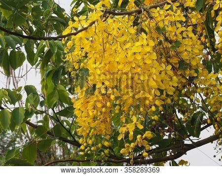 Cassia Fistula, Golden Shower Tree, Ratchaphruek Yellow Color Flowers In Full Bloom With Rain Drops
