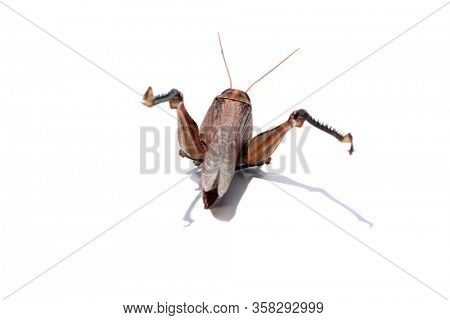 Locust. Grass Hopper. A Locust aka Grass Hopper photographed with a 100 milometer Macro Lens Isolated on white. Room for text. Clipping Path. Extreme close up of parts of a California Locust.
