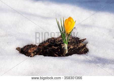 Spring Flower Crocus.