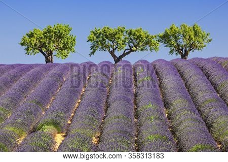 View Of Lavander Field In France, Europe