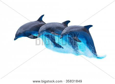 Three Bottlenose Dolphins, Tursiops truncatus, leaping in formation isolated on white