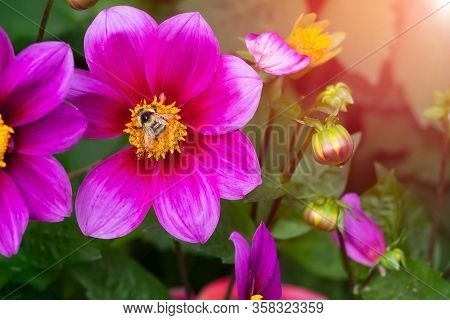Vibrant Delicate Bright Pink Dahlia Flower On Summer Sunlight In The Garden. Blooming Dahlias Flower