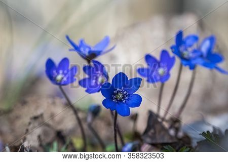 Blue Anemones - One Of The First Springtime Signs