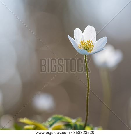 Beautiful Blossom Wood Anemone Flower Head Close Up