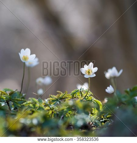 One Focused Wood Anemone Flower In A Flower Group
