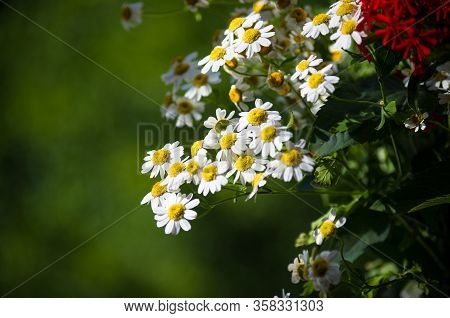 Blooming Camomile, Beautiful Nature Scene, Summer Background, Selective Focus