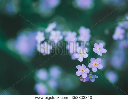 Many Small White Flowers And One Flower Color Ultraviolet On A Dark Blurred Background Of Blue-green