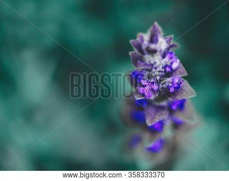 Flower Color Ultraviolet On A Blurred Background Of Blue-green Leaves