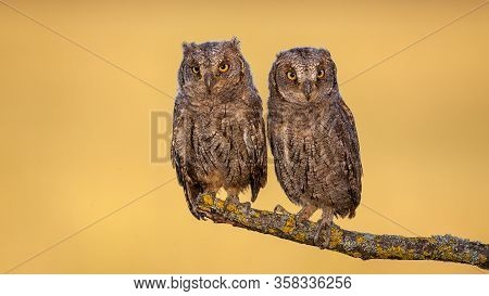 Two Eurasian Scops Owl Chicks Sitting On A Bough With Yellow Moss In Spring