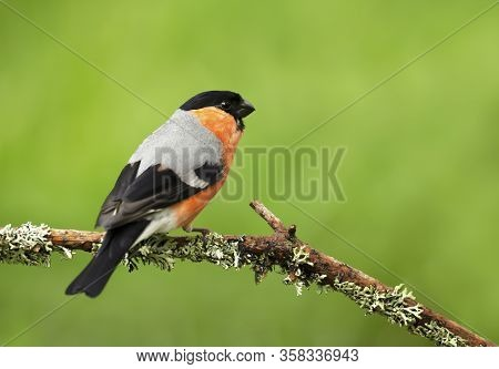 Close Up Of A Male Bullfinch (pyrrhula Pyrrhula) Perched On A Mossy Branch Against Green Background,