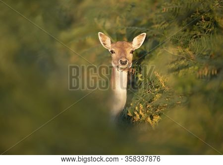 Close-up Of A Fallow Deer (dama Dama) Standing In Fern, Uk.