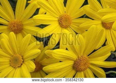 Closeup Shot Of Some Bright Yellow Chrysanthemum Flowers