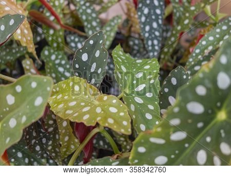 Full Frame Background Showing Lots Of White Spotted Begonia Maculata Leaves