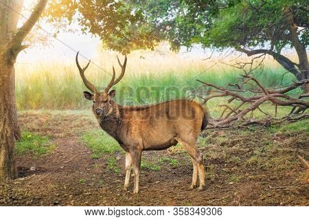 Male sambar (Rusa unicolor) deer walking in the forest. Sambar is large deer native to Indian subcontinent and listed as vulnerable spices. Ranthambore National Park, Rajasthan, India