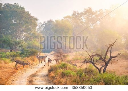 Families of blue bull nilgai and spotted deers chital walking in forest. Safari road, birds, trees. Perfect sunrise in Ranthambore National park. Tourism eco environment. Rajasthan, India.