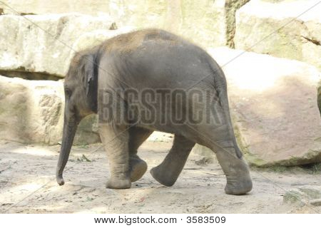 Baby Elephant In A Zoo.