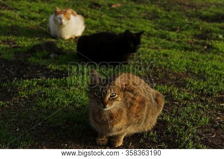 Three Cats Lying On Green Grass. Stray Cats Outdoors. Animals, Mammals, Animals Day Concept.
