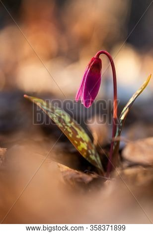 erythronium dens-canis or the dog's-tooth-violet pink flower at sunset - spring coming