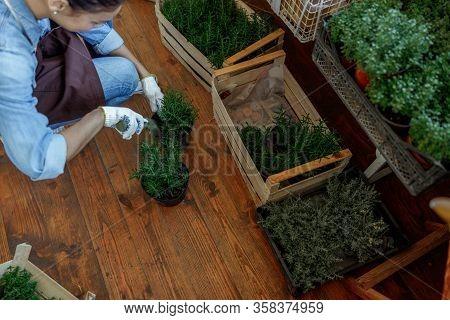 Female Herbalist Bending Over A Rosemary Seedling