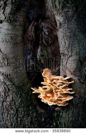 sulfur fungus on beech tree