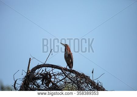Cute Little Green Heron Butorides Virescens In A Marsh In Sarasota, Florida