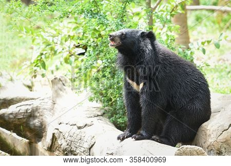 Asiatic Black Bear Standing And Relax In The Summer / Black Bear Waiting For Its Food In The Zoo