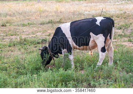 A Curious Dairy Cow Stands In Her Pasture.dairy Cow Farm. A Curious Dairy Cow