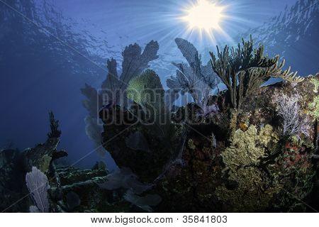 Corals of North America