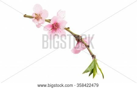 Sakura Pink Flowers Isolated On White Background