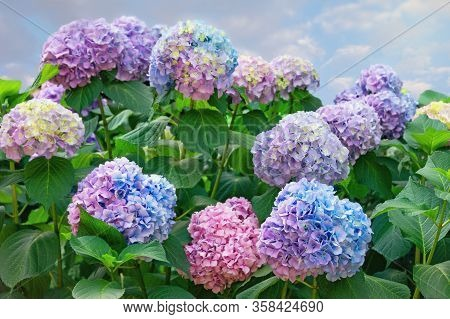 Beautiful Multi-colored Flowers Of Hydrangea  (  Hydrangea Macrophylla ) In Garden