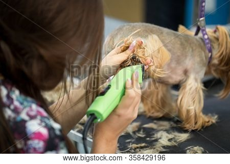 Veterinarian Trimming A Yorkshire Terrier With A Hair Clipper In A Veterinary Clinic. Female Groomer