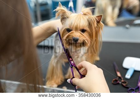 Female Groomer Haircut Yorkshire Terrier On The Table For Grooming In The Beauty Salon For Dogs. Ton