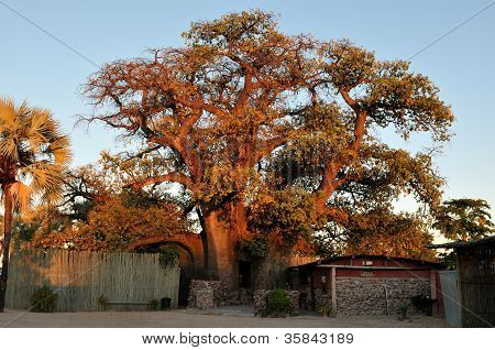 Theombalantu Baobab Tree In Namibia