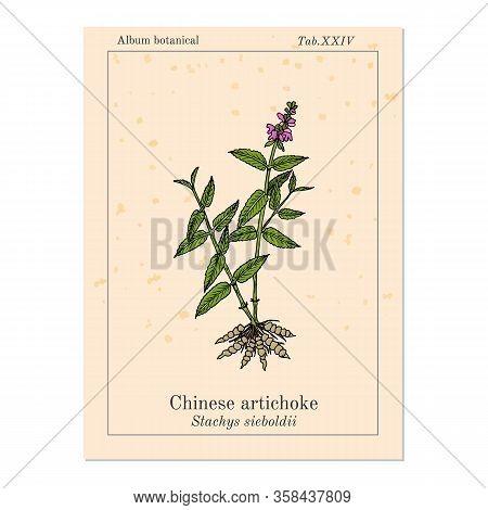 Chinese Artichoke Stachys Sieboldii , Eatable And Medicinal Plant. Hand Drawn Botanical Vector Illus