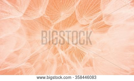 Beautiful Dew Drops On A Dandelion Seed Macro. Beautiful Soft Pink Background. Water Drops On A Para