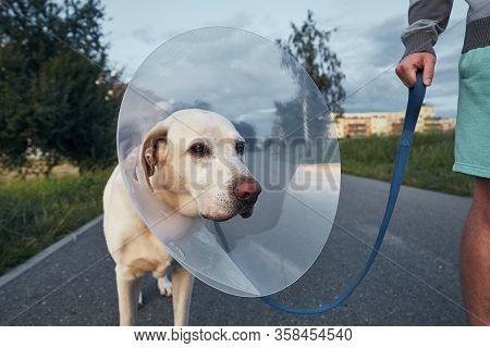 Pet Owner With His Old Dog After Surgery. Labrador Retriever Wearing Medical Protective Collar On Wa