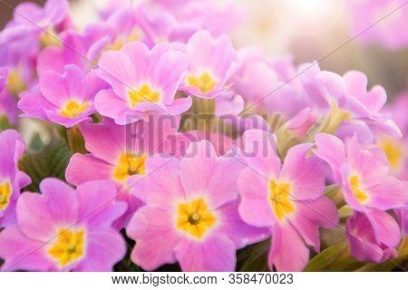 Perennial Primrose Or Primula In The Spring Garden