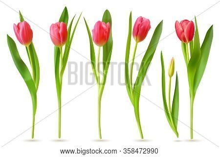 Realistic Tulip. Pink Red Buds Tulips, Spring Flowers Bouquet, Colorful Floral Elements For Greeting