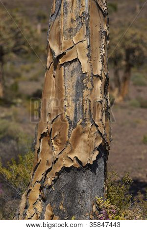 Quiver tree trunk