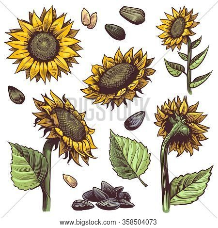 Sunflowers. Yellow Wildflower Sun Shaped, Sunflower Seed And Leaves Label Elements Organic Plants, H