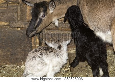 Two Small Newborn Baby Goats Stand In A Shed Near The Goat's Mother. The Goat Tilted Its Head Toward