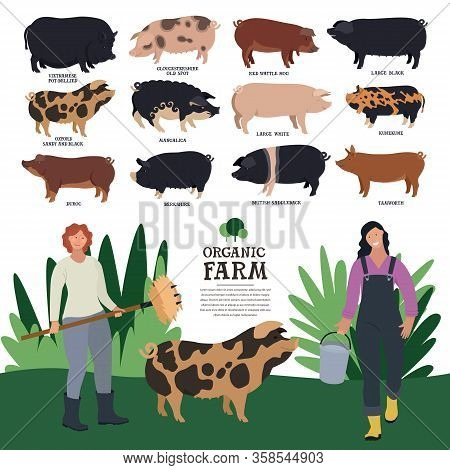 Set Of Twelve Breeds Of Domestic Pigs Flat Vector Illustration Of Two Women Farmers Working On An Or