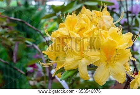 Yellow Pacific Rhododendron (rhododendron Macrophyllum) Is A Large-leaved Species Of Rhododendron Na