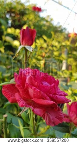 Side View Of Gorgeous Red Rose Flower And Red Rose Bud On Long Green Stem Closeup. Variegated Petals