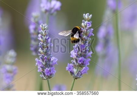 Worker Bees Collecting Pollen From Lavender Fields. Selective Focus On Single Bee On Lavender Blooms